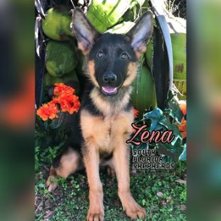 German Shepherd Dog PUPPY FOR SALE ADN-102261 - Working Line German Shepherd puppies