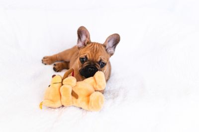 French Bulldog PUPPY FOR SALE ADN-104390 - Available French Bulldog Puppy Chase