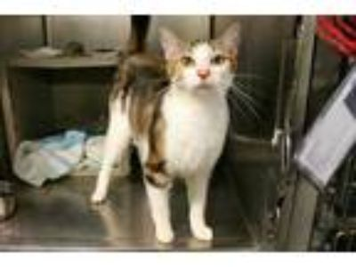 Adopt JEWEL a White (Mostly) Domestic Shorthair / Mixed (short coat) cat in