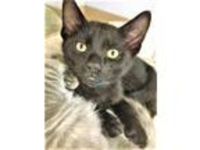 Adopt Joker a Domestic Short Hair