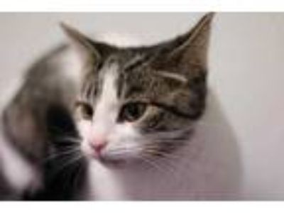Adopt Bianca a White Domestic Shorthair / Domestic Shorthair / Mixed cat in