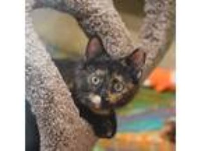 Adopt Kiki a Tortoiseshell Domestic Shorthair (short coat) cat in Dallas