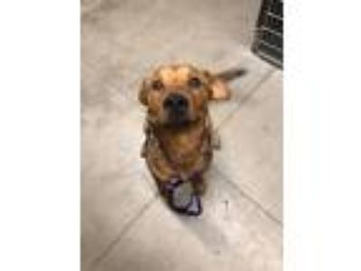 Adopt Zilla a Tan/Yellow/Fawn Shepherd (Unknown Type) / Mixed dog in Tucson