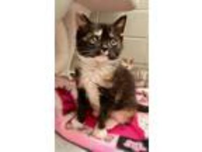 Adopt Morningstar a Calico or Dilute Calico Domestic Shorthair (short coat) cat