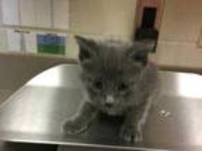 Adopt Clouse (Phil) a Gray or Blue Domestic Shorthair / Domestic Shorthair /