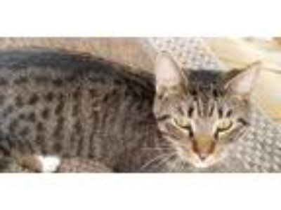 Adopt Data a Spotted Tabby/Leopard Spotted Egyptian Mau cat in Prospect