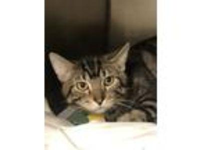 Adopt MILKY WAY a Domestic Short Hair