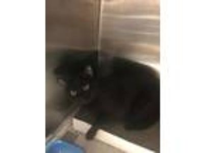 Adopt Davidson a All Black Domestic Shorthair / Domestic Shorthair / Mixed cat