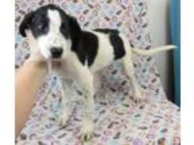Adopt Wendy a Black - with White Coonhound / Mixed Breed (Large) / Mixed dog in