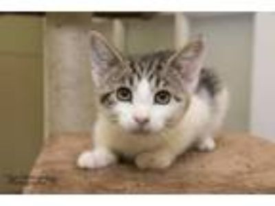 Adopt Koopa a Domestic Short Hair