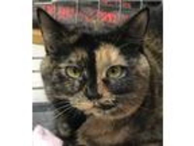 Adopt Lucy a Calico or Dilute Calico Calico (short coat) cat in Medford