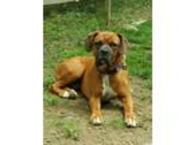 Adopt Sarge a Boxer / Mixed dog in Pittstown, NJ (25346827)