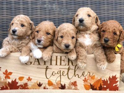 Goldendoodle PUPPY FOR SALE ADN-102000 - MultiGenerational Mini Goldendoodles