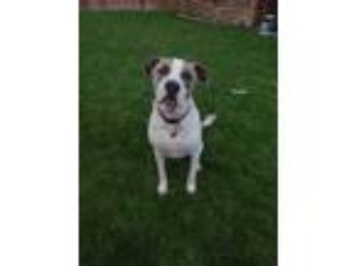 Adopt Pepper a Brindle - with White Anatolian Shepherd / American Pit Bull