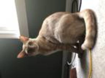 Adopt kitty a Orange or Red Tabby Domestic Mediumhair cat in Alpharetta