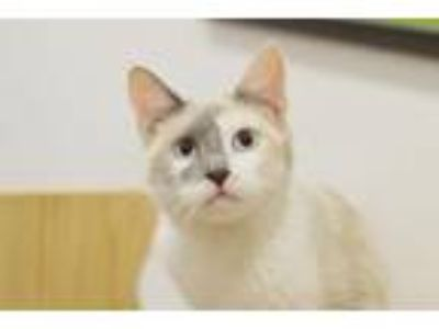 Adopt Lucy a Siamese, Domestic Short Hair