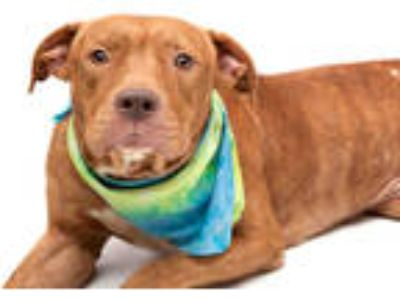 Adopt C.J. a Red/Golden/Orange/Chestnut - with White American Pit Bull Terrier /