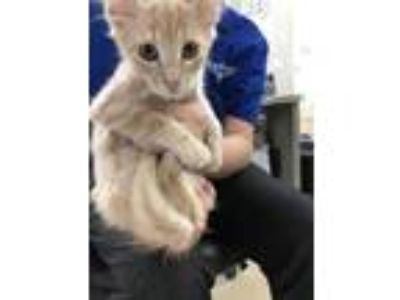 Adopt Kitten 2 a Tan or Fawn Domestic Shorthair / Domestic Shorthair / Mixed cat