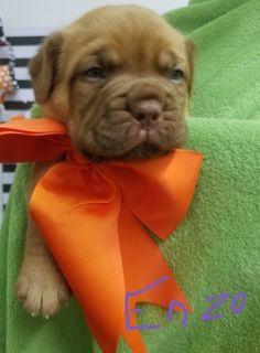 Dogue de Bordeaux PUPPY FOR SALE ADN-102813 - Dogue De Bordeaux puppies born October 4th