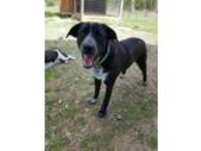 Adopt Cassi a Black - with White Australian Cattle Dog / Labrador Retriever /