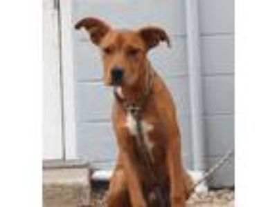Adopt Barber a Tan/Yellow/Fawn Retriever (Unknown Type) / Mixed dog in St.