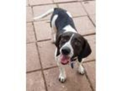 Adopt LILY a Black - with White Beagle / Mixed dog in Dallas, TX (25343107)
