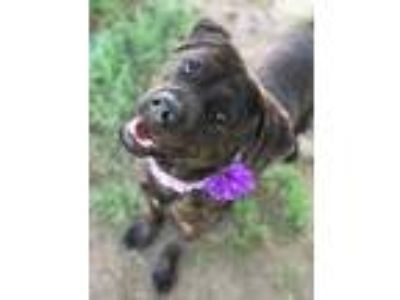 Adopt KEIRA a Brindle Boxer / Dutch Shepherd / Mixed dog in Pilot Point