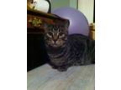 Adopt Cody and Hudson a Brown Tabby Domestic Shorthair (short coat) cat in
