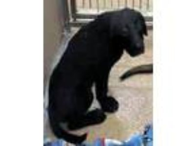 Adopt Sally A162325 a Labrador Retriever, German Shepherd Dog