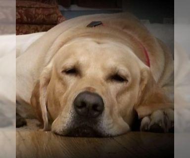 Labrador Retriever PUPPY FOR SALE ADN-118992 - Labrador Retriever puppies