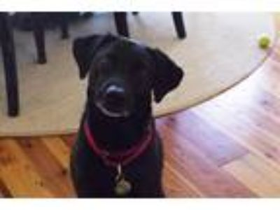 Adopt Tealc a Black Labrador Retriever dog in Germantown, MD (25851710)