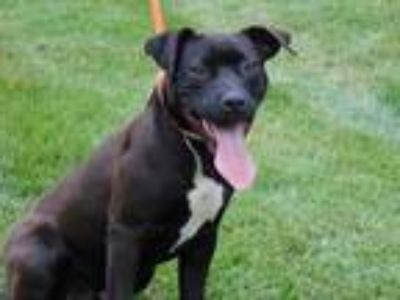 Adopt PICKLE a Black - with White American Pit Bull Terrier / Mixed dog in