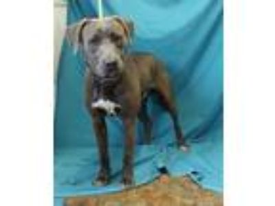 Adopt Dimitri a Gray/Silver/Salt & Pepper - with White American Pit Bull Terrier