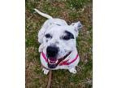 Adopt S'mores a White Dalmatian / American Staffordshire Terrier / Mixed dog in