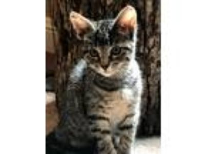 Adopt Poppie a Gray, Blue or Silver Tabby Domestic Shorthair (short coat) cat in