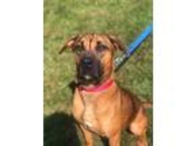 Adopt Ginger a Tan/Yellow/Fawn - with Black Hound (Unknown Type) / Mixed dog in