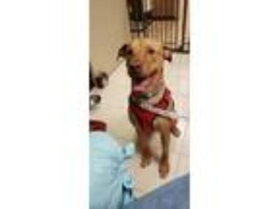 Adopt Wyatt a Tan/Yellow/Fawn Labrador Retriever / Doberman Pinscher / Mixed dog