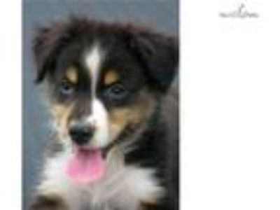 AKC/ASCA black tri-color male 3 Ch Ln