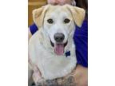 Adopt Taylor a White Labrador Retriever / Mixed dog in Greenbelt, MD (24760948)