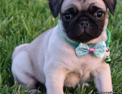 Amazing Pug Puppies Ready Now