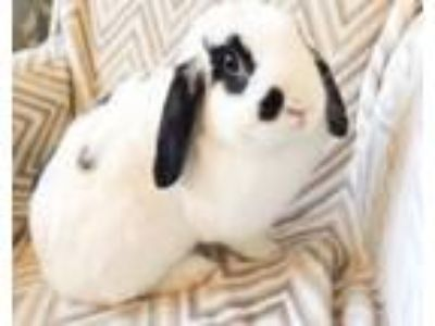 Adopt Trixie a Mini Lop