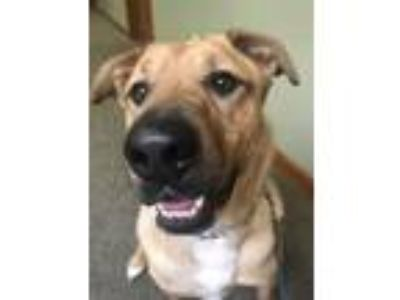 Adopt Odie a Labrador Retriever, German Shepherd Dog