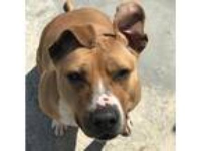 Adopt Cali a Tan/Yellow/Fawn Pit Bull Terrier dog in South Haven, MI (24507509)