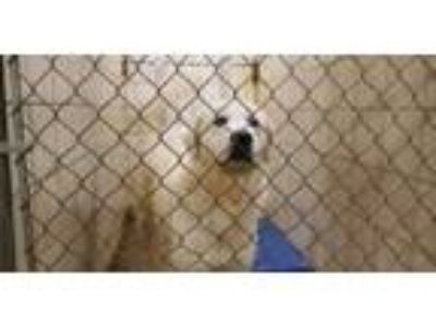 Adopt Tyson a Great Pyrenees
