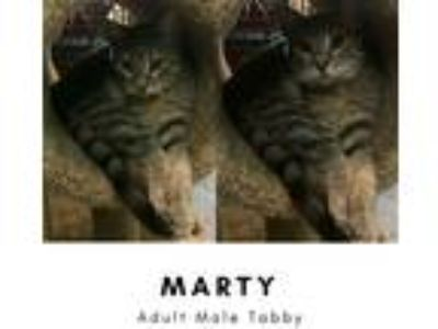 Adopt Marty a Gray, Blue or Silver Tabby Domestic Shorthair (short coat) cat in