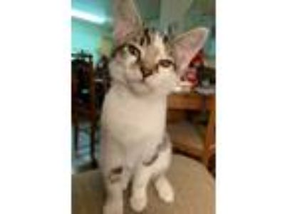 Adopt Jade a Gray, Blue or Silver Tabby Domestic Shorthair (short coat) cat in