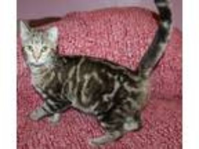 Adopt Brenda a Gray, Blue or Silver Tabby Bengal (short coat) cat in