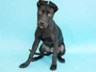 Adopt SPICE a Black Labrador Retriever / Mixed dog in St. Louis, MO (25456303)