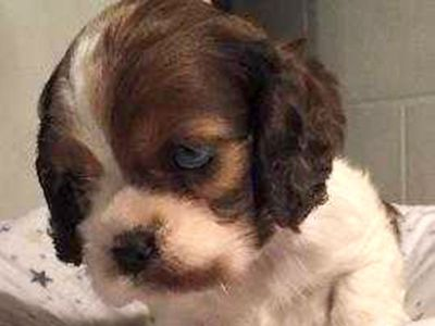 AMERICAN COCKER SPANIEL PUPPIES, AKC, FIRST SHOTS, ...