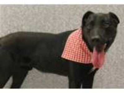 Adopt Maxx a Black Retriever (Unknown Type) / Mixed dog in SMITHFIELD